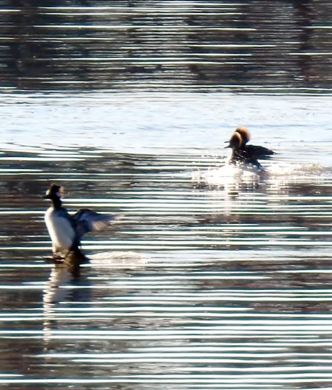 duck-landing