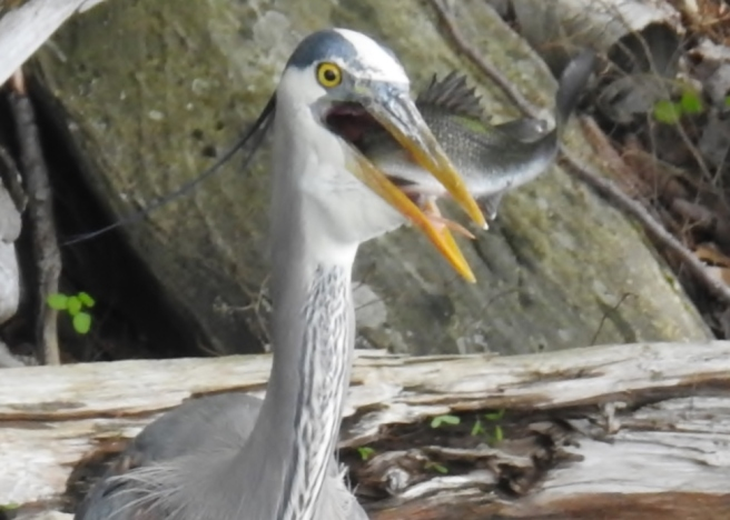 heron eating fish